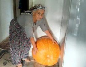 Kadirlili çift 70 kiloluk bal kabağı yetiştirdi