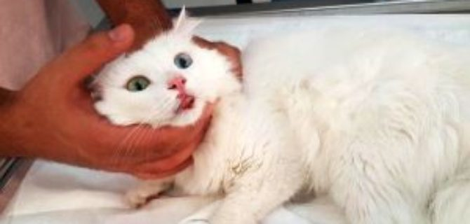 Yüksekten düşünce ayağı kırılıp, dudağı yırtılan van kedisine tedavi