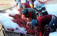 Turp üretiminin yüzde 70'ini gerçekleştiren Kadirli'de hasat başladı