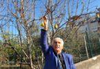 Kadirli'de armut ağacı kışın meyve verdi