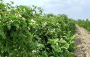 Kadirli'de kültür böğürtleni hasadı başlıyor
