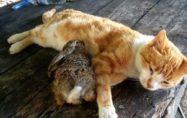 Ev kedisi, tarlada bulunan tavşan yavrusuna annelik ediyor