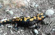 Amanoslar'da 'sarı benekli semender' görüntülendi