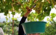 Şifa deposu üzüm pekmezinin sofralara uzanan yolculuğu