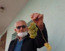 Kadirli'de asma ocak ayında üzüm verdi