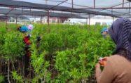 Fidan üretim tesisinde yolu kesişen iki kadın fidanlık kurdu
